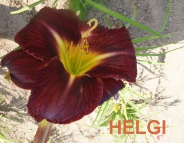 Päevaliilia ´Helgi´ (Hemerocallis)