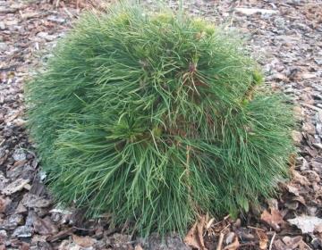 Mägimänd ´Varella´ (Pinus mugo)