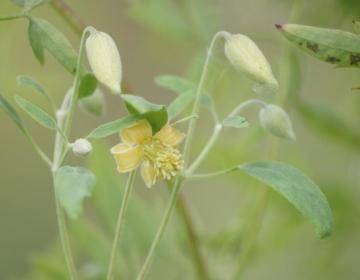Clematis orientalis
