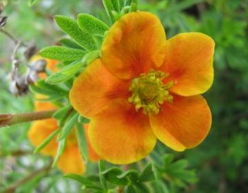 Põõsasmaran ´Hopley´s Orange´ (Potentilla)