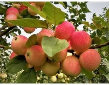 Hiinast pärit õunapuu sort (Malus) ´Zao Hong´ -Varasügisene sort Hiinast. Ilusad, keskmised ja kvaliteetsed õunad, Sobib ka mahepõllumajanduseks. mis on magusad ja kergelt happelised.
