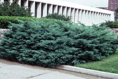 Virgiinia kadakas ´Hertzii´ (Juniperus virginiana)