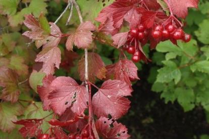 Harilik lodjapuu ´N - 312-31-51´ (Viburnum opulus)
