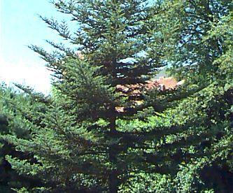 Fraseri nulg (Abies fraserii)