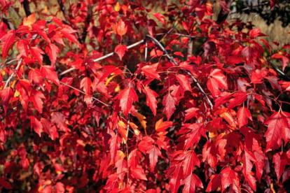 Ginnala vaher (Acer ginnala)
