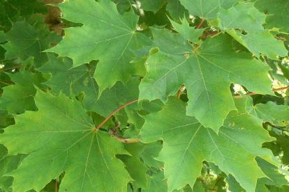 Harilik vaher (Acer plataniloides) - 1 -1,5 m kõrgune