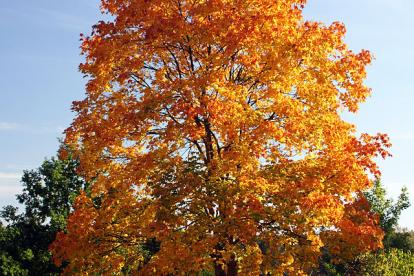 Harilik vaher (Acer platanpoides)