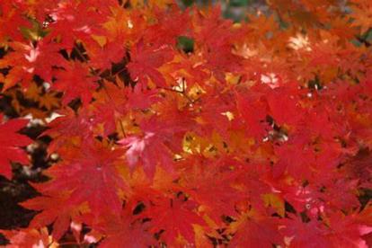 Korea vaher (Acer pseudosieboldianum)