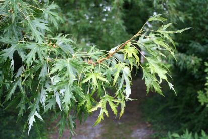Hõbevaher ´Wieri´(Acer saccharinum)
