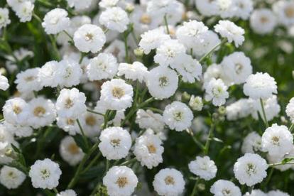 Võsa raudrohi ´ThePearl´ (Achillea ptarmica)