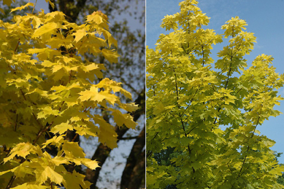 Harilik vaher ´Princeton Gold´ (Acer platanoides)