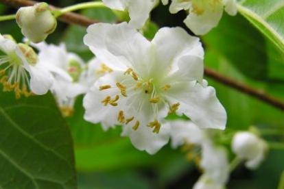 Südajas aktiniidia (Actinidia kolomicta) - isane