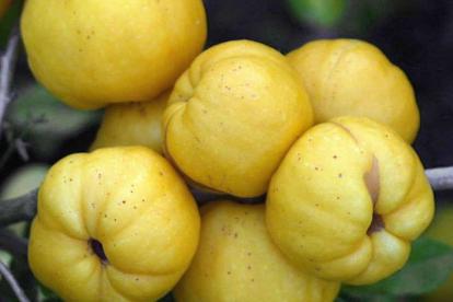 Ebaküdoonia ´Alfa´ (Chaenomeles japonica)
