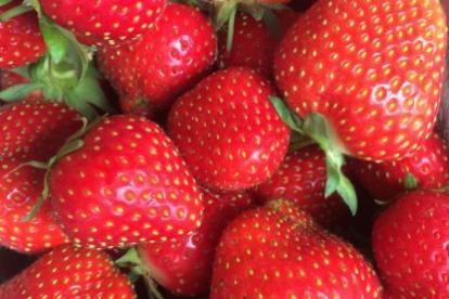 Maasikas ´Allegro´ (Fragaria ananassa)