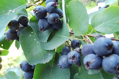 Lepaleheline toompihlakas ´Martin´ (Amelanchier alnifolia)