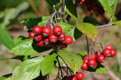 Punane aroonia (Aronia arbutifoila) 1 m kõrgusel tüvel