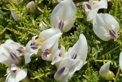 ahtalehine hundihammas (Astragalus angustifolius)