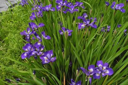 Siberi võhumõõk ´Baby sugar´ (Iris sibirica)
