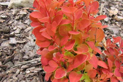 Thunbergi kukerpuu ´Orange Ice´ (Berberis thunbergii)