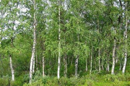 Arukask (Betula pendula) - 2,5 m kõrgused mullapalliga taimed