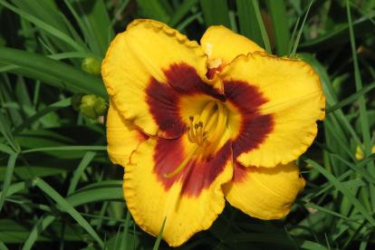Päevaliilia ´Blackberry Candy´ (Hemerocallis)