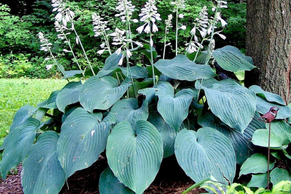 Hosta ´Blue Angel´ (Hosta)