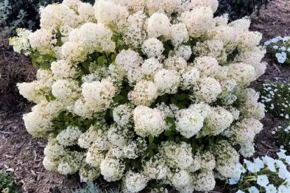 Aedhortensia ´Bobo´ (Hydrangea paniculata)
