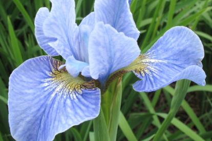 Siberi võhumõõk ´Cambridge´ (Iris sibirica)