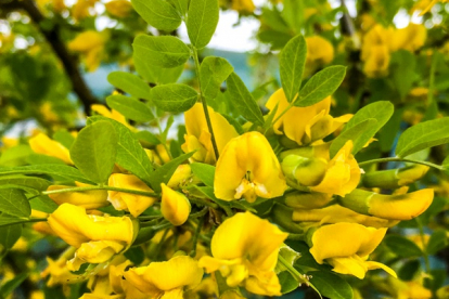 Suur läätspuu (Caragana arborescens)