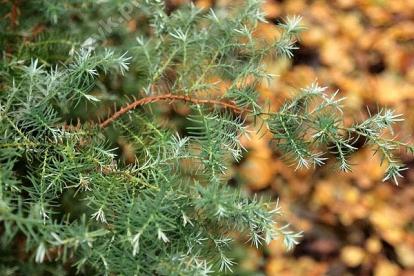 Mägi-ebaküpress ´Squarrosa lombartsii´ (Chamecyparis pisifera)