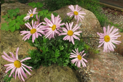 Siberi krüsanteem (Chrysanthemum weyrichii)