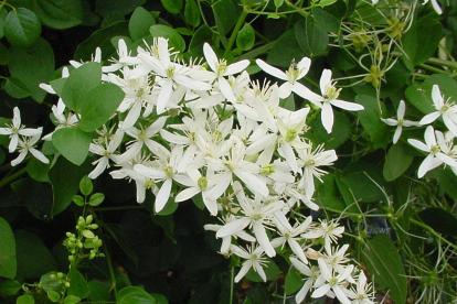 Mandšuuria elulõng (Clematis mandsuricum)