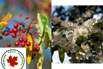 Sieboldi õunapuu varieteet (Malus sieboldii var. arborescens)