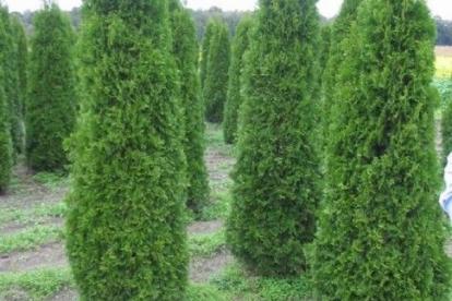 Harilik elupuu ´Columna´ (Thuja occidentalis) Suurem