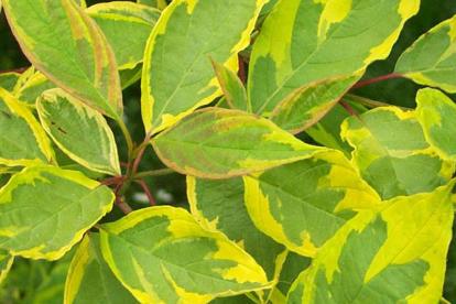 Siberi kontpuu ´Spaetii´ (Cornus alba)
