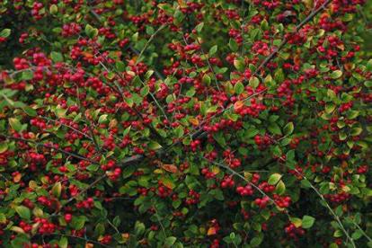 Dielsi tuhkpuu (Cotoneaster dielsianus)