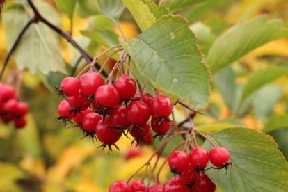 Pikaastlaline viirpuu (Crataegus macracantha)