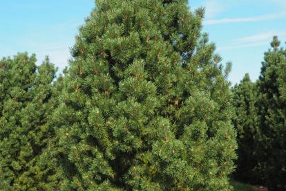 Mägimänd ´Columnaris´ (Pinus Mugo) - Tellimisel