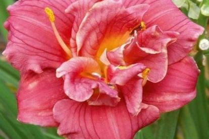 Päevaliilia ´Cute As Can Be´ (Hemerocallis)