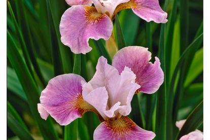 Siberi võhumõõk ´Dance balerina dance´ (Iris sibirica)