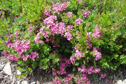 Palu-Näsiniin ´Variegatum´ (Daphne cneorum)