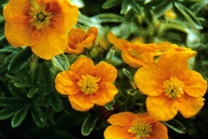 Põõsasmaran ´Mango Tango´ (Potentilla fruticosa)