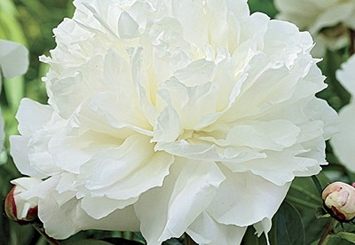 Pojeng ´White Double´ (Peonia)