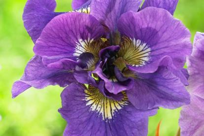 Siberi võhumõõk ´Double Standart´ (Iris sibirica)