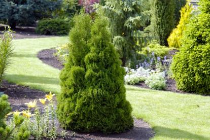 Harilik elupuu ´Plicata Dumosa´ (Thuja occidentalis)