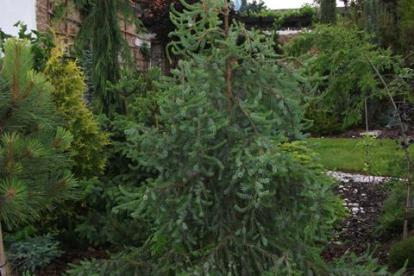 Serbia kuusk ´Linda´ (Picea omorica) -Tellimisel