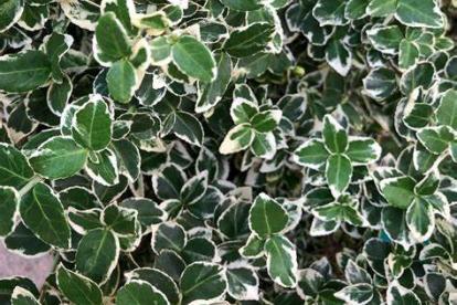 Fortunei kikkapuu ´ Emerald Gaiety´ (Euonymus fortunei)