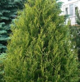Harilik elupuu ´Frieslandia´ (Thuja occidentalis)