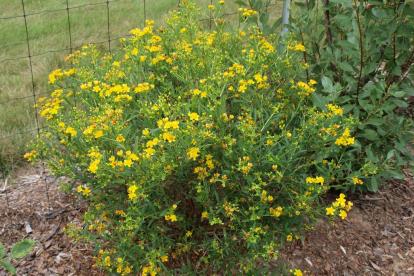 Kalmi naistepuna ´Gemo´ (Hyperiucum kalmianum)