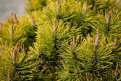 Mägimänd ´Orange Glow´ (Pinus mugo)